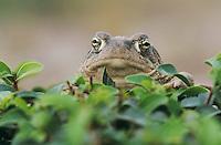 Texas Toad, Bufo speciosus, adult, Starr County, Rio Grande Valley, Texas, USA, May 2002