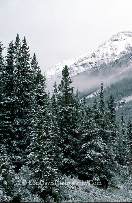 Snow Frosted Evergreens  #L51