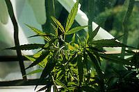 Pianta di Marijuana. Plant of Marijuana...