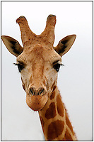 A giraffe at the Lazy Five Ranch in Mooresville, NC. Lazy 5 Ranch is a privately owned exotic animal drive through park and safari in Iredell County, NC.