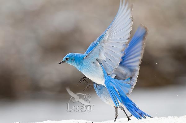 Male Mountain Bluebirds (Sialia currucoides) landing on late melting snowbank.  Western U.S., May.