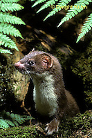 MA21-019z  Long-Tailed Weasel - in summer brown coat - Mustela frenata