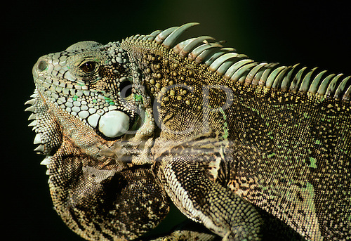 Amazon, Brazil. Lizard with white cheek spots and crested back resting.