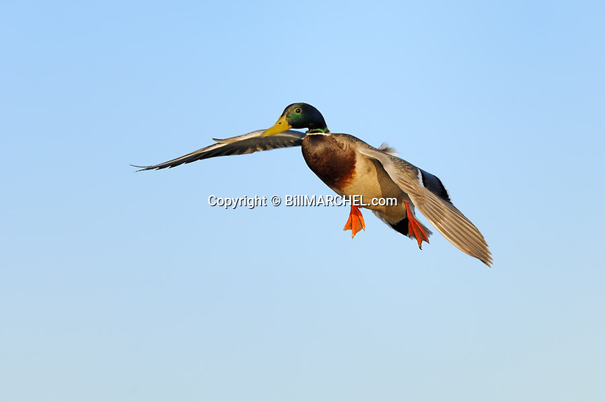 00330-080.01 Mallard Duck (DIGITAL) drake has its wings set as it is about to land.  Greenhead, hunt, waterfowl. H6F1