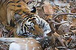Bengal tigress killing male spotted deer (Axis axis) early morning, dry season