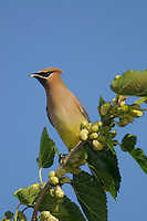 Cedar Waxwing (Bombycilla cedrorum), immature eating Mulberry (Morus sp.), Laredo, Webb County, South Texas, USA