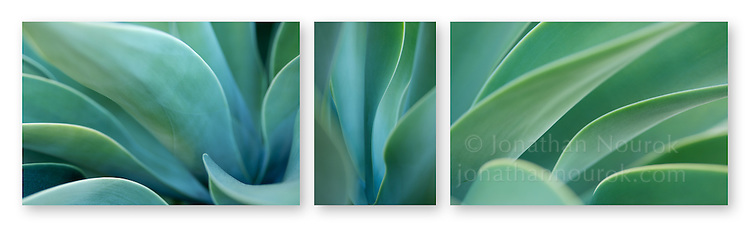 Close-up photographic triptych of a blue/green agave plant. Images 260, 261 and 262.