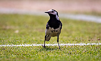 London, England, 5 July, 2019, Tennis,  Wimbledon, Bird on Centercourt<br /> Photo: Henk Koster/tennisimages.com