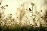 Long-billed Marsh Wren singing, Skagit River Estuary, Puget Sound, Washington State, Pacific Northwest, Cistothorus palustris; Estuary preserved in part by the Washington Wildlife and Recreation Program,