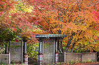 Japanese maple (Acer palmatum)  in autumn by lattice entry gate Marin Art and Garden Center