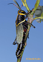 0913-0809  Adult Horse Lubber Grasshopper - Taeniopoda eques © David Kuhn/Dwight Kuhn Photography.