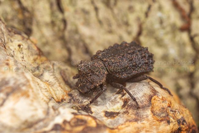 A female Forked Fungus Beetle (Bolitotherus cornutus) on bracket fungus on an American Beech tree.