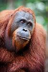 Male Bornean Orang-Utan (Pongo pygmaeus). Camp Leakey, Tanjung Puting NP, Kalimantan, Borneo.