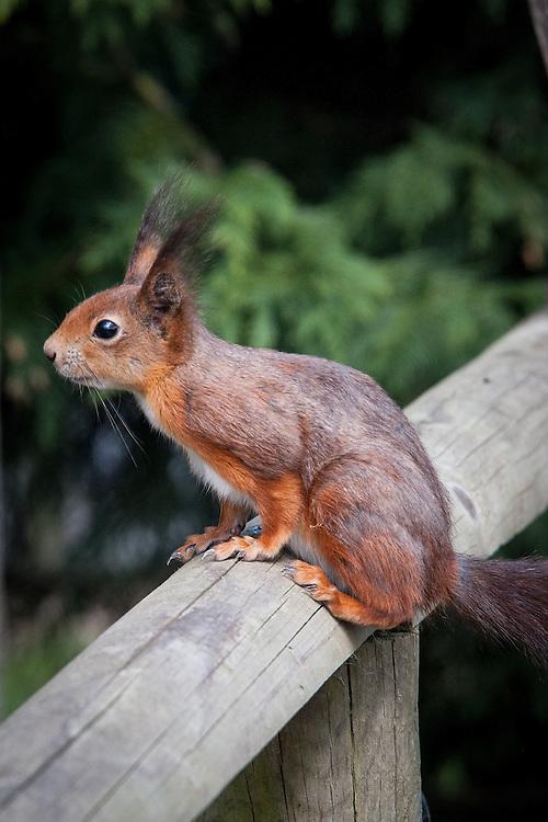 Red squirrel (Sciurus vulgaris), late April.