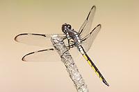 Bar-winged Skimmer (Libellula axilena) Dragonfly - Juvenile Male, Lake Kissimmee State Park, Lake Wales, Polk County, Florida