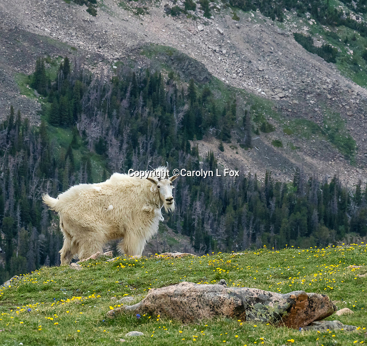 Mountain goats are sometimes seen in Yellowstone and also on the Beartooth Highway, just outside the Northeast entrance to the park.