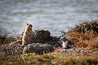 A pair of ground squirrels pose along the shores of San Francisco Bay.