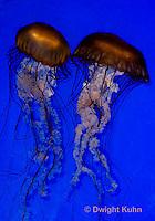 EC11-505z  Sea Nettle Jellyfish swimming in ocean, Chrysaora spp.