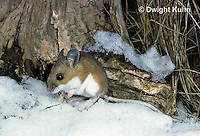 MU12-005z   White-Footed Mouse - Peromyscus leucopus
