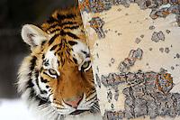Siberian Tiger or Amur Tiger (Panthera tigris) in winter snow.