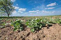 Spring bean plants - May, Lincolnshire