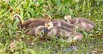 Goslings sleeping next to the water's edge in northern Wisconsin.