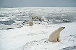 A group of polar bears on an ice field in Churchill, Manitoba, Canada.