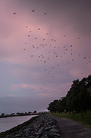 The storm took a break and the gulls took to the air with wave after wave flying above the path at a lagoon along San Francisco Bay at sunset.