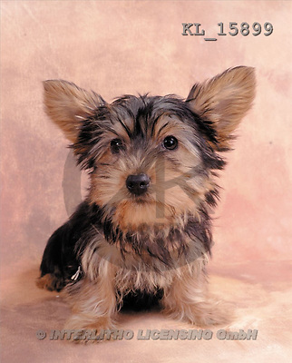 Interlitho, Alberto, ANIMALS, dogs, photos, yorkshire-terrier(KL15899,#A#) Hunde, perros