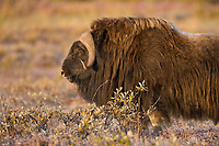 Muskox on the autumn tundra, Arctic, Alaska.