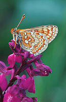 Marsh Fritillary (Euphydryas aurinia), adult perched on orchid, Switzerland