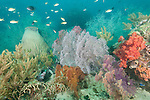 Triton Bay, West Papua, Indonesia; an aggregation of Threadfin Anthias and Chromis fish swimming gorgonian soft coral sea fans, black corals and a large barrel sponge