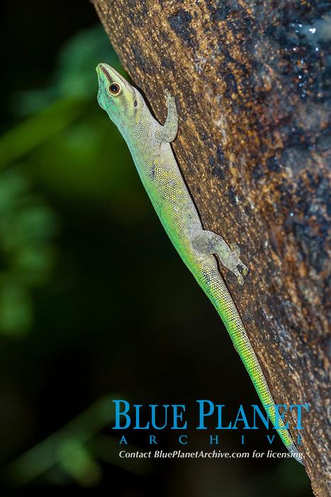 Abbott's day gecko (Phelsuma abbotti), Nosy Komba, Northwest Coast, Madagascar, Africa