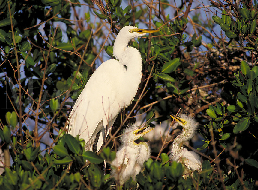 An adult great egret (casmerodius albus) (also referred to as the common or American egret) sits in nest with chicks. Florida, Bird Island.