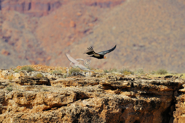 California Condor (Gymnogyps californianus) flying near Marble Canyon near est end of Grand Canyon National Park, Arizona.