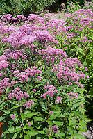 Eupatorium purpureum 'Purple Bush' atropurpureum type Joe Pye Weed in flowers
