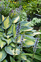 Hosta June with blue Salvia nemerosa 'Crystal Blue', Hosta Platinum Sun
