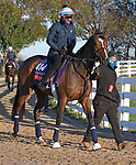 November 03 2020: Sistercharlie, trained by trainer Chad C. Brown, exercises in preparation for the Breeders' Cup Filly & Mare Turf at Keeneland Racetrack in Lexington, Kentucky on November 3, 2020.