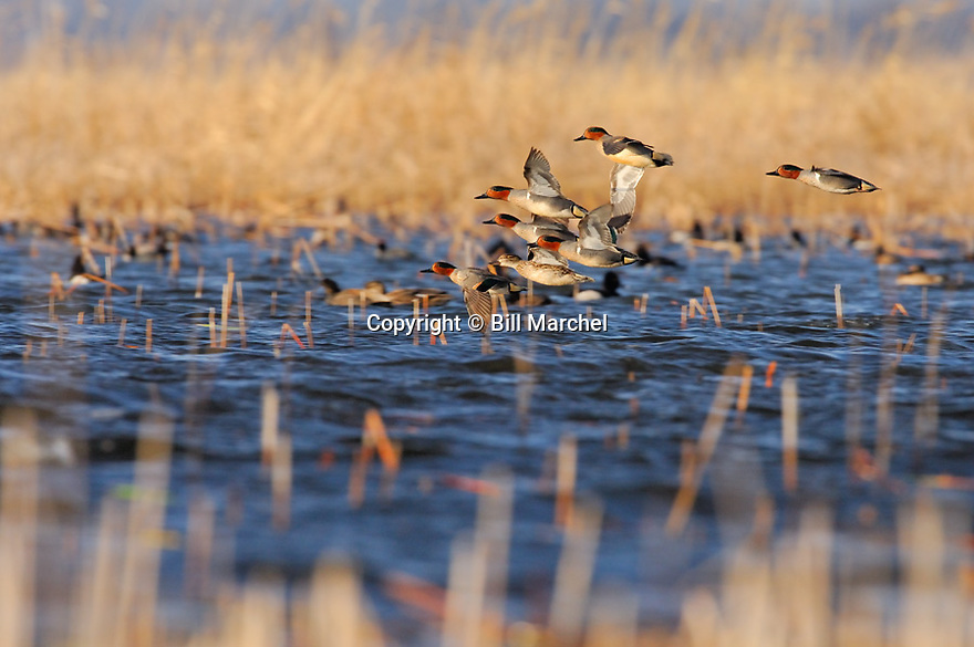 00310-014.08 Green-winged Teal Duck (DIGITAL) flock in flight low over marsh.  Action, hunt, fly, courtship, waterfowl, wetland.  H1L1