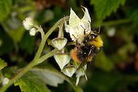Wiesenhummel, Wiesen-Hummel, Bombus pratorum, syn. Pyrobombus pratorum, Arbeiterin beim Blütenbesuch auf Himbeere, Nektarsuche, Bestäubung, early bumble bee