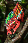 Male panther chameleon (Furcifer pardalis) in threat display to other male. Northern Madagascar.