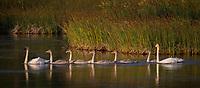 Trumpeter Swan family @ Anchorage's Potter Marsh in morning light