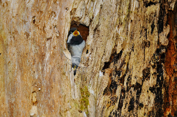 Young Chestnut-backed Chickadee (Poecile rufescens) calling to parents from nest cavity in snag in old growth forest in Olympic National Park rain forest, WA.  June.  This bird is about one day from fledging.