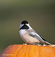 1J04-012z  Black-capped Chickadee - on Jack-o-lantern - Parus atricapillus