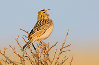 Adult Baird's Sparrow (Ammodramus bairdii) singing. Southeast Alberta, Canada. May.