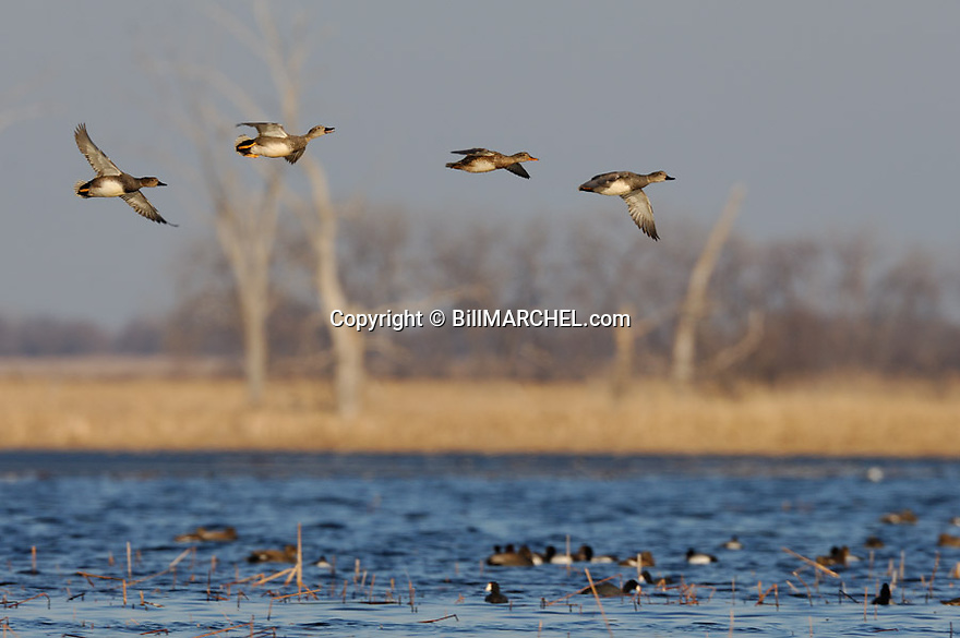 00319-005.10 Gadwall Duck (DIGITAL) flock in flight over marsh containing other waterfowl.  Fly, action, hunt, wetlands.  H1R1