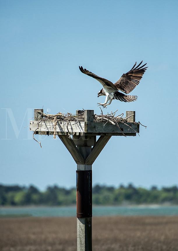Osprey landing in salt marsh nest, Delaware