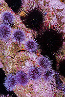 Purple and black sea urchins on a rocky reef. The urchins will clear all kelp off a reef if their population is not held in balance by predictors. Santa Barbara Island, Strongylocentrotus purpuratus, California (E. Pacific Ocean)