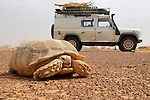 Africa, Mauritania, Sahara Desert, between Tidjikdja and Kiffa. Land Rover Defender TD5 Station Wagon behind a large African Spurred Tortoise of a about 45cm shell length. --- Info: The African Spurred Tortoise (Geochelone sulcata), also called the African Spur Thigh Tortoise, is a species of tortoise which inhabits the southern edge of the Sahara desert, in northern Africa. It is the third largest species of tortoise in the world and the largest species of mainland tortoise (not found on an island). Adults are usually 18 inches (45 cm) in shell length, and weigh 70 to 100 pounds. Specimens with 24 to 36 inch long (60-90 cm) shells weighing 150 pounds (70 kg) are not unknown. They grow from hatchling size (2-3 inches) very quickly, reaching 6-10 inches (15-25 cm) within the first few years of their lives. The oldest known of this species was 56 years old although it is believed they can live up to about 80 years. --- RELEASES AVAILABLE! Automotive trademarks are the property of the trademark holder, authorization may be needed for some uses.