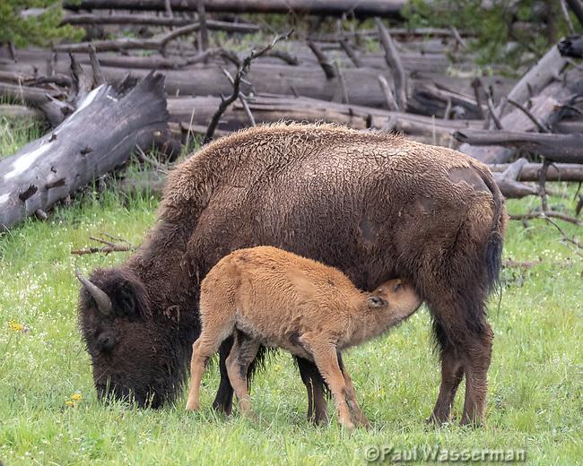 Buffalo and nursing calf at Yellowstone National Park, Wyoming